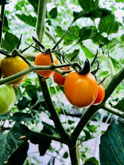 無土栽培黃妃小番茄
