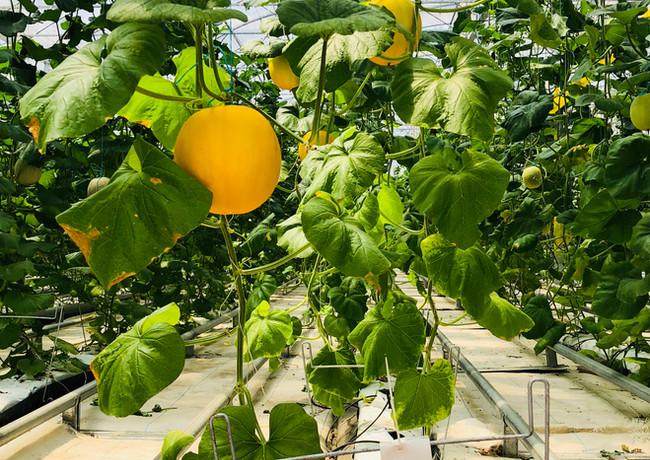 水耕黃金蜜瓜生產基地