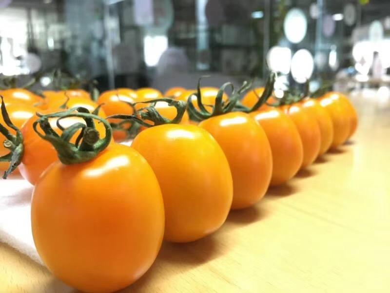 無土栽培紅黃妃小番茄