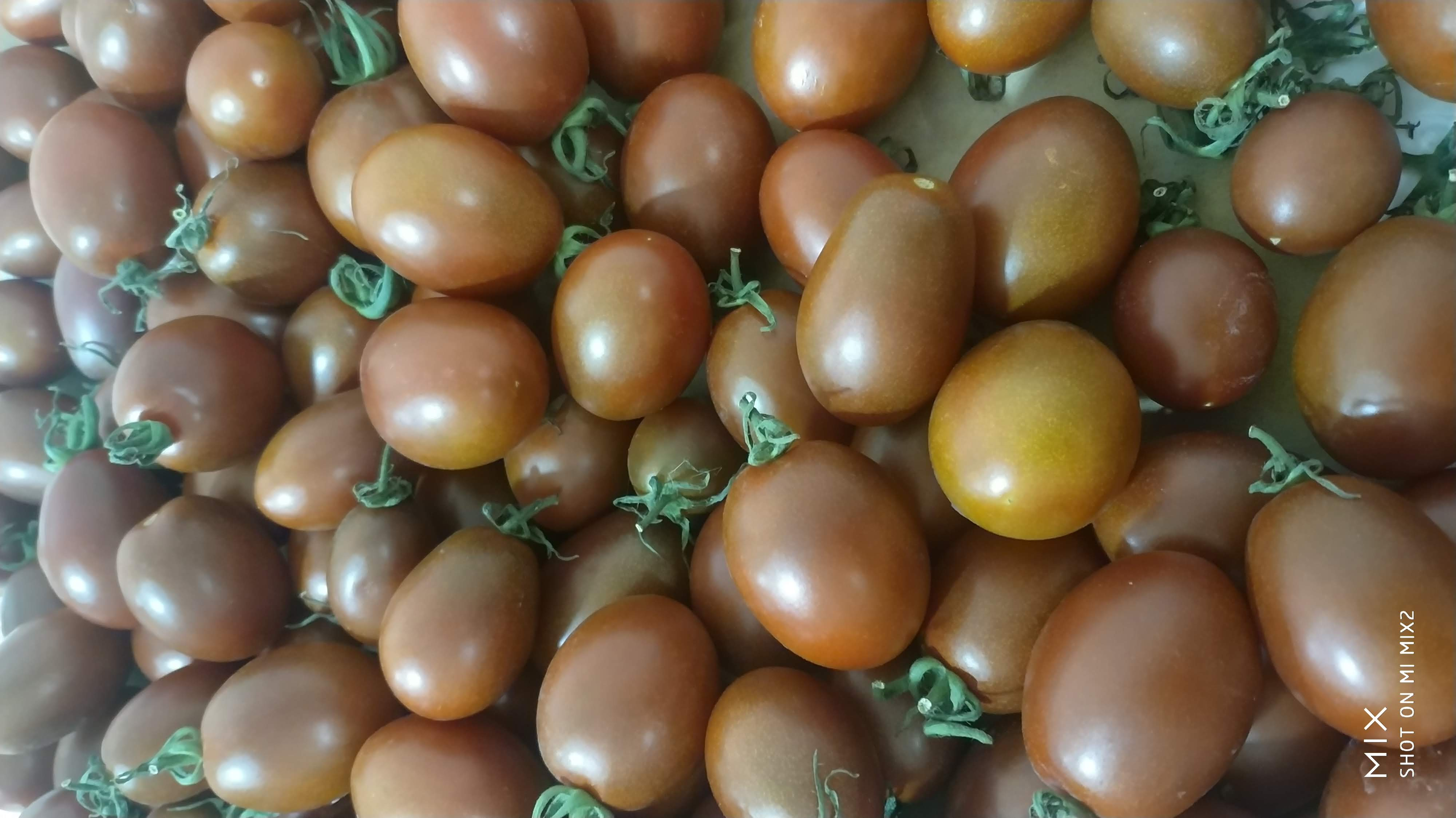 無土栽培黑妃小番茄