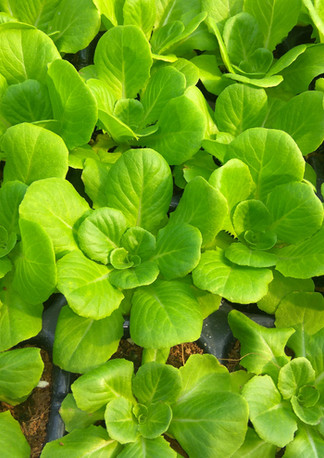 水耕蔬菜生產基地