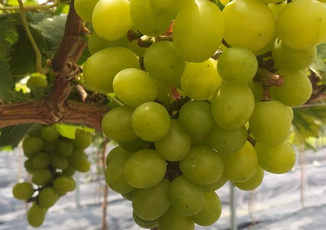 無土栽培香印葡萄生產基地