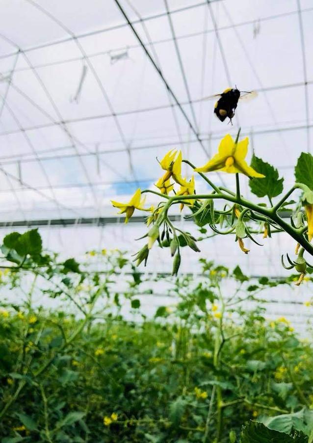 水耕蜜瓜生產基地