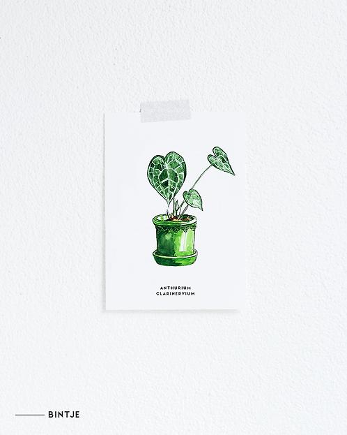 Postcard Anthurium plant