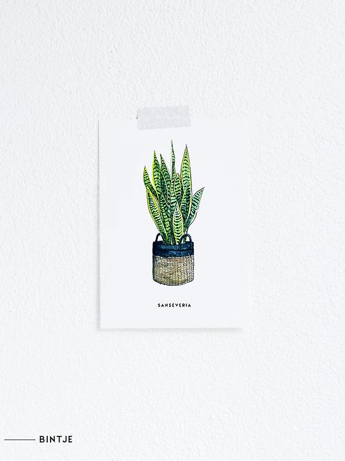 Postcard Sanseveria Plant