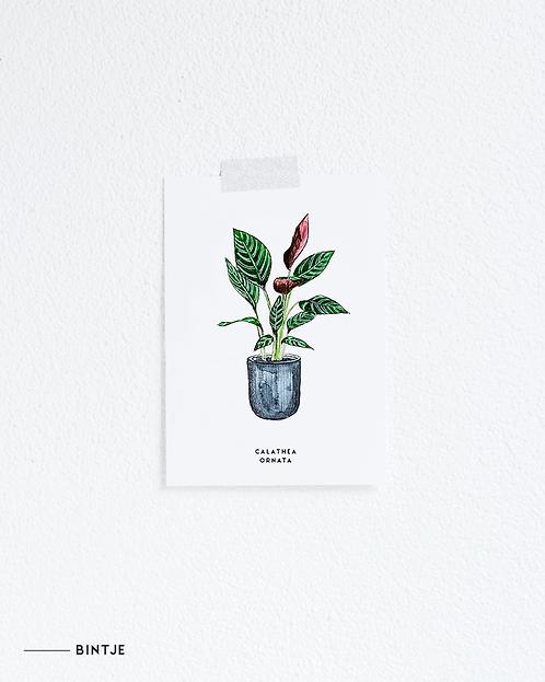 Postcard Calathea plant