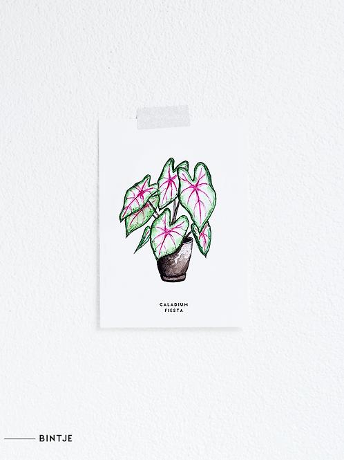 Postcard Caladium plant