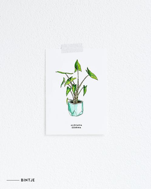 Postcard Alocasia plant