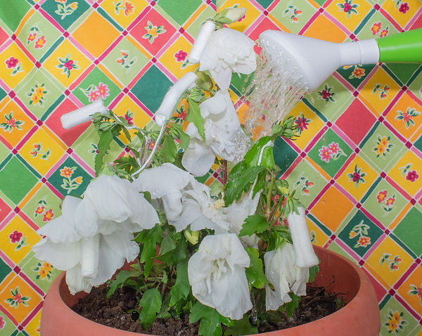 wateringmytamponplant.jpg