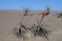 Tillandsia latifolia Nazca to Arequipa G
