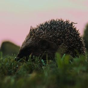 Porcupine by Tim Frank