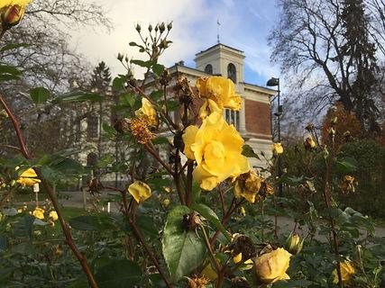 Hatanpään kartano,keltainen ruusu.JPG