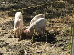 local, Durham pork