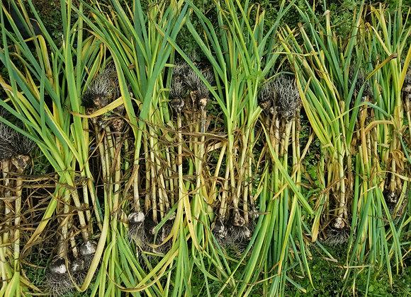 Garlic - Mixed selection