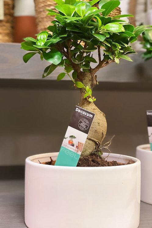 Ficus ginseng et son cache-pot
