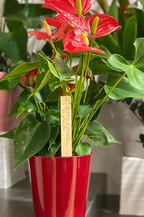 Anthurium rouge et son cache-pot assorti