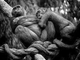 Fêmea de gorila abraçada ao macho, que parece nem perceber a sua presença