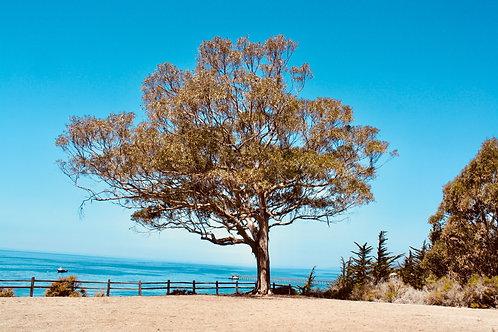 Santa Barbara Tree & Beach