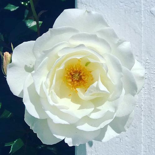 Whimsical White rose