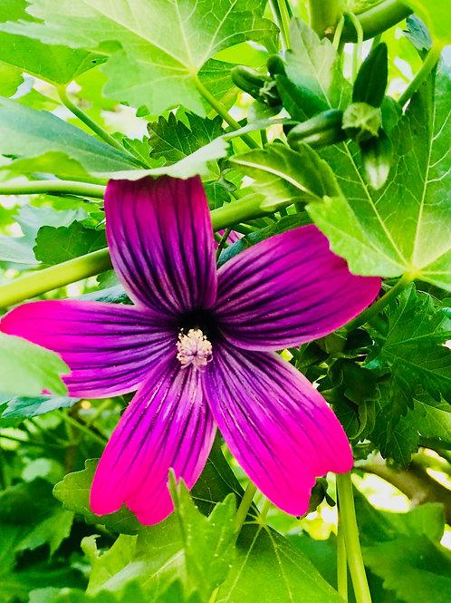 Dark purple flower (Santa Barbara) CA