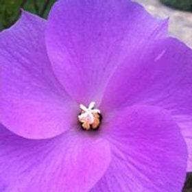 Sweetest purple flower