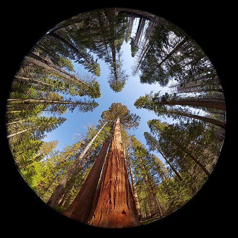 Complete circular fisheye view of the Giant Sequoia Trees in Mariposa Grove, Yosemite National park,