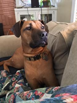 boxer-mix-dog