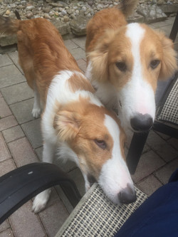 dogs-orangeandwhite