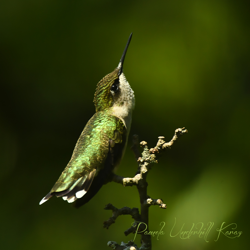 Hummingbird Looking Up
