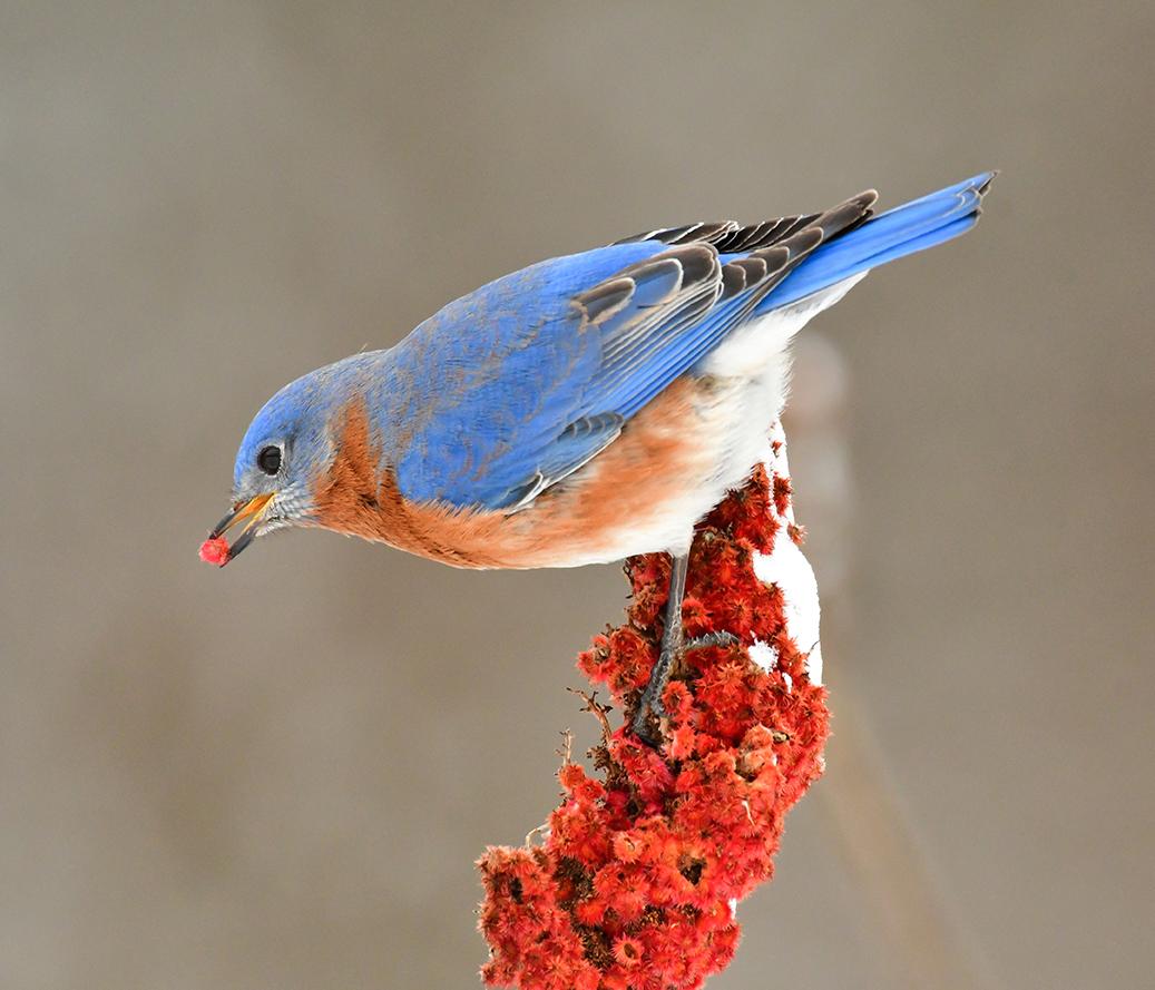 Bluebird and Sumac