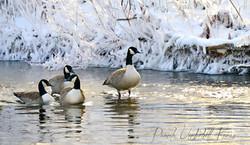 Christmas Morning Geese II