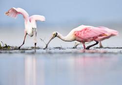 PamelaKaraz_spoonbill2_birds