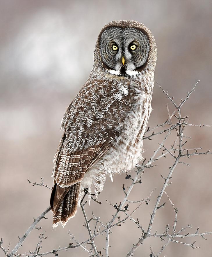 Great Gray Owl Portrait II