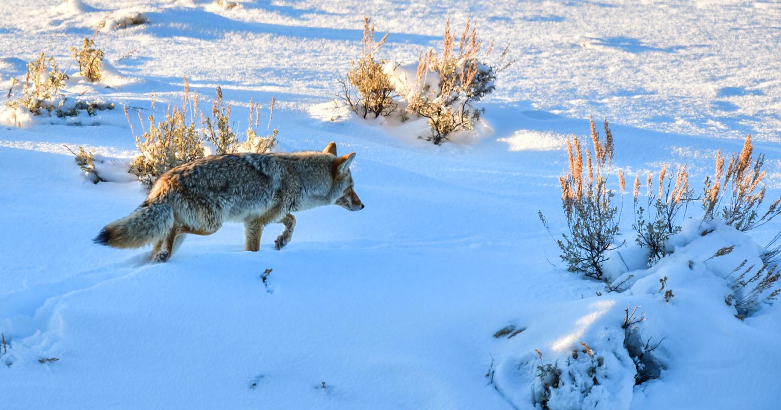 coyote 5381