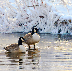 Christmas Morning Geese