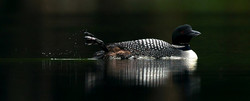 Lazy Summer Day Loon