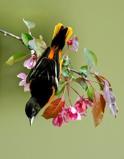 Baltimore Oriole and Spring Blossoms