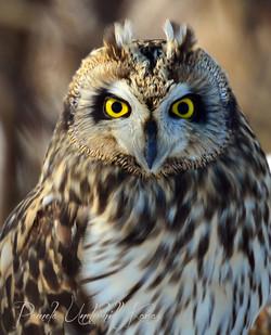 Short Eared Owl II