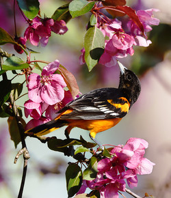 Baltimore Oriole and Blossoms II