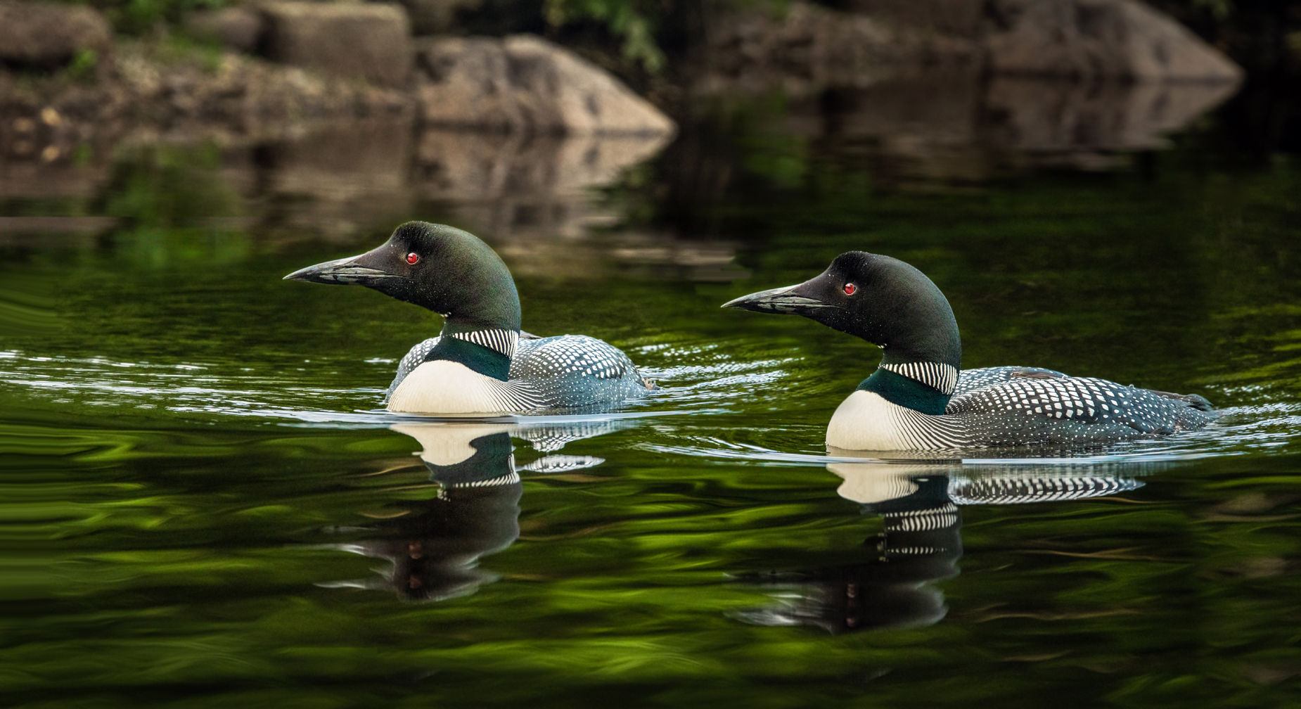 Morning Outing - Loons