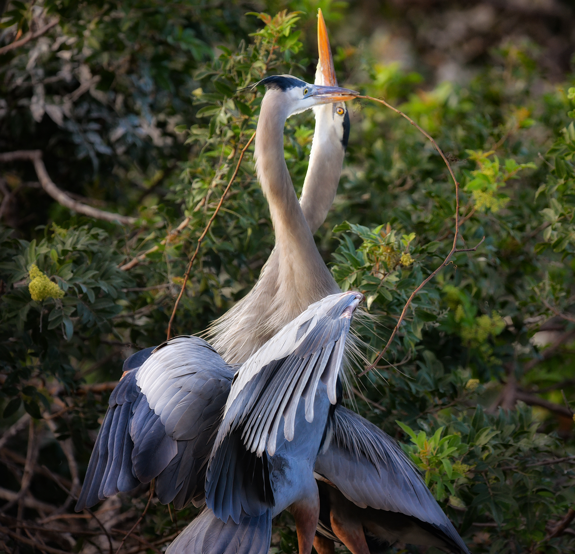 Great Blue Heron Love Dance