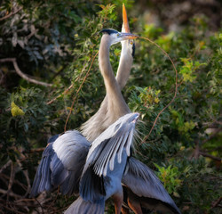 Great Blue Heron Love Dance
