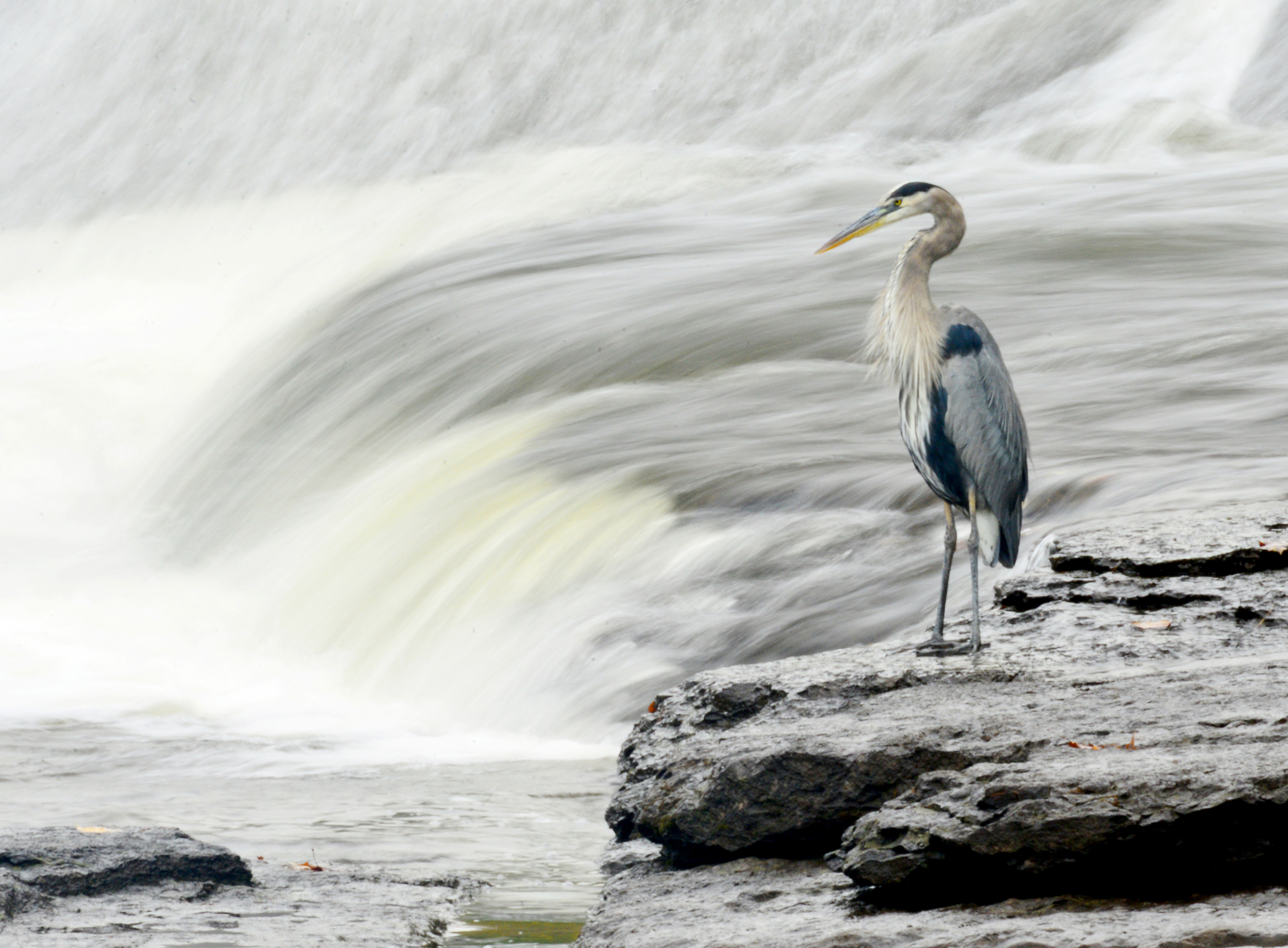 On the Rocks Heron