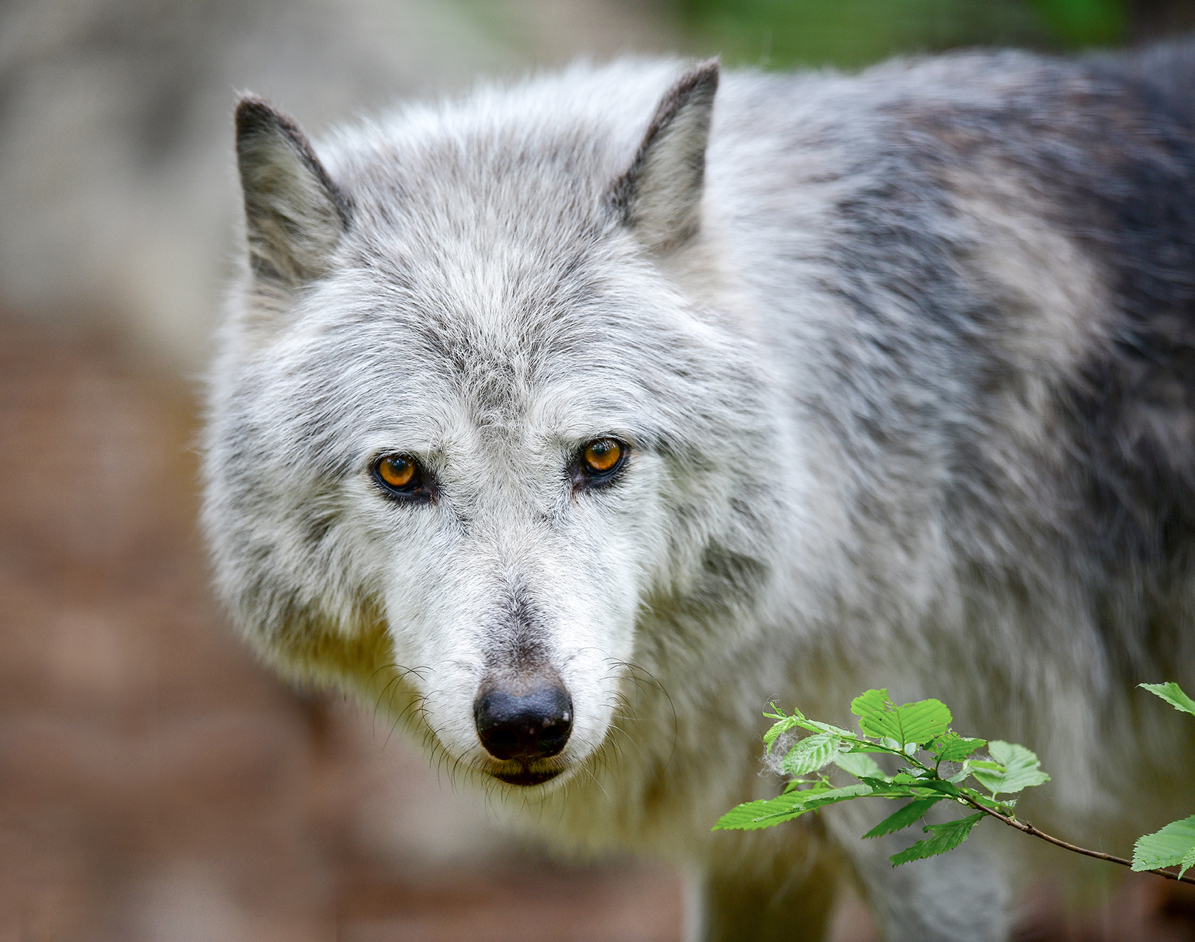 The Stare - Wolf (Captive)