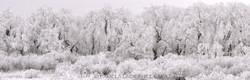 Hoar Frost Laden Trees