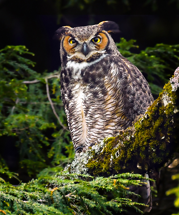 Great Horned Owl Mama