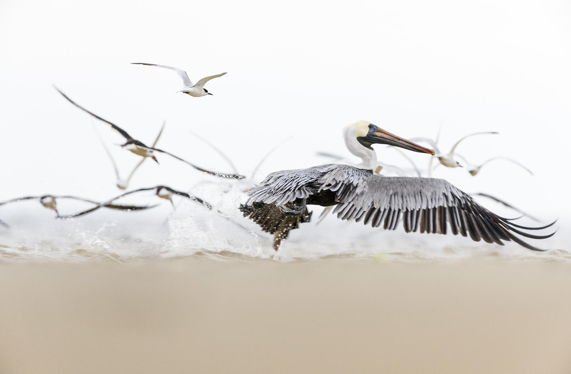 PamelaKaraz_pelican2_birds