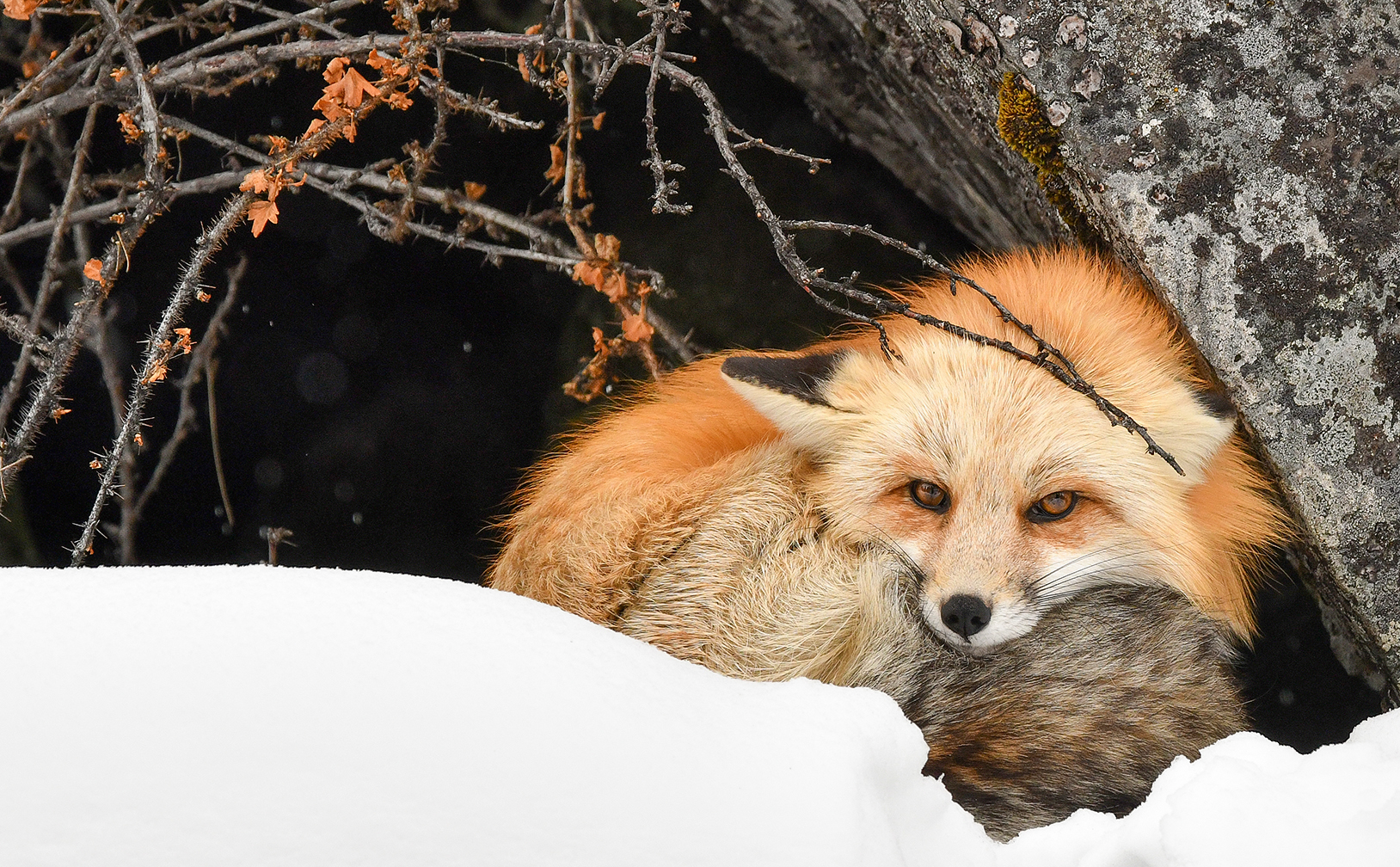 Just waking up: Red Fox