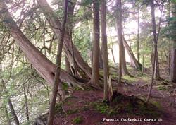 Cedar Overhanging the Gorge
