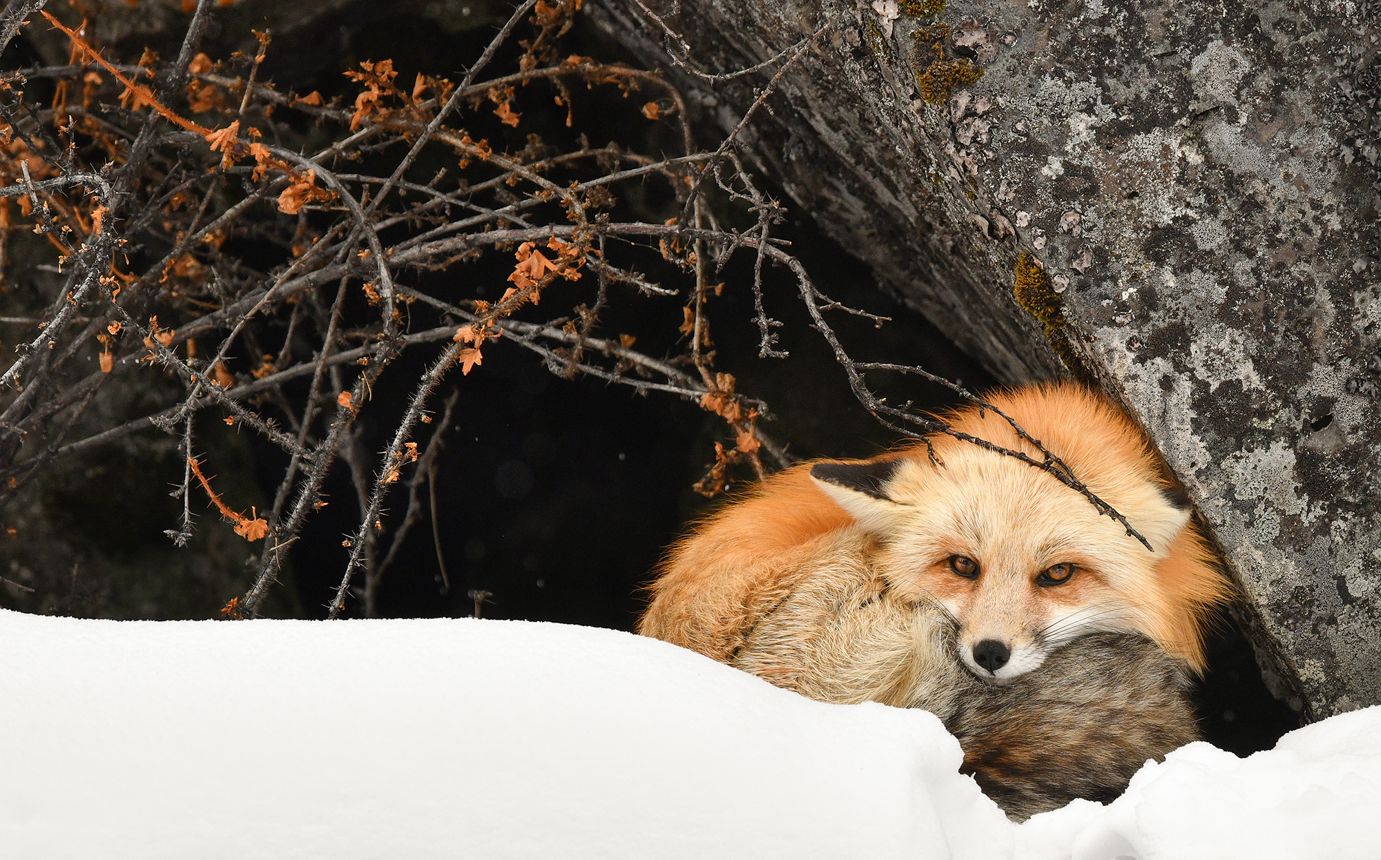 PamelaKaraz_fox1_wildlife